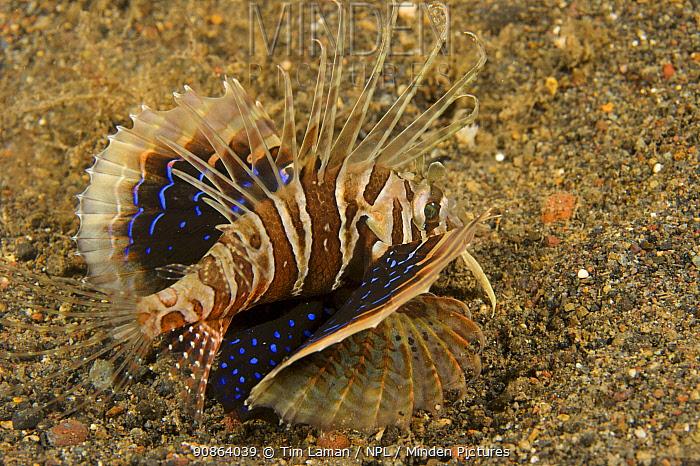 Gurnard Lionfish (Parapterois heterura) on a sandy seabed, Bali, Indonesia.