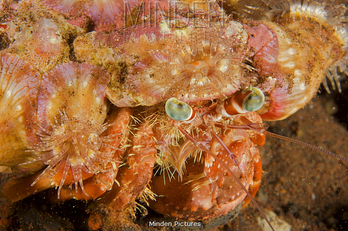Hermit crab with a shell covered in small sea anemones. Bali Island, Indonesia.