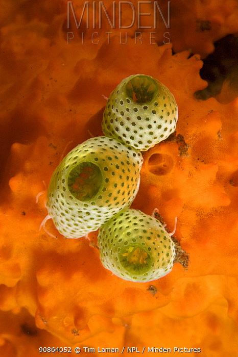Tunicates (Didemnum molle) Bali, Indonesia.
