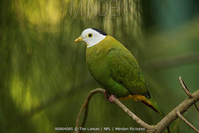 Black-naped fruit dove (Ptilinopus melanospila) Native to Indonesia, captive