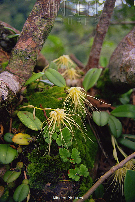 A wild epiphytic orchid growing in the rainforest canopy, Gunung Palung National Park, Borneo, West Kalimantan, Indonesia