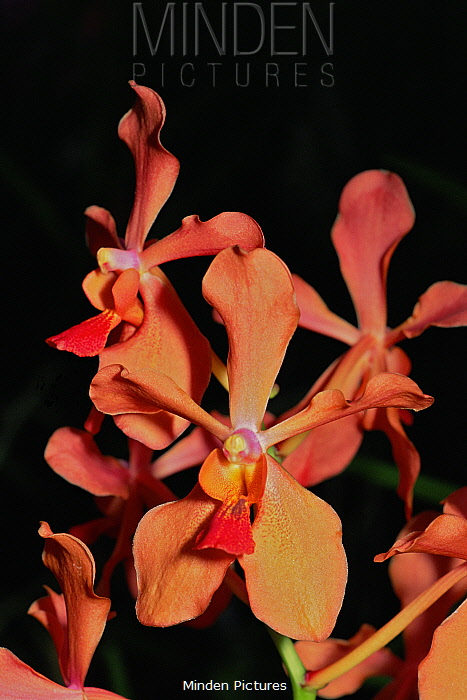 Cultivated hybrid orchid of Philippine orchid (Renanthera philippinensis) Singapore