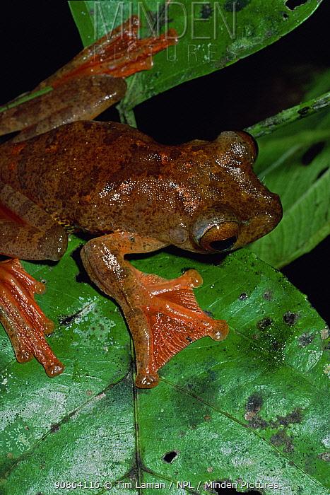 Harlequin Treefrog (Rhacophorus pardalis) on leaf, Bako National Park, Sarawak, Malaysia, Borneo