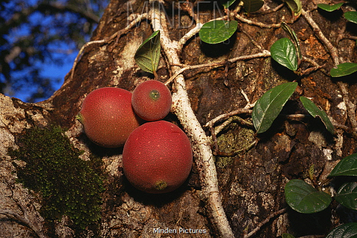 Fruits of a climbing fig (Ficus punctata) - a woody liana that climbs up trunks and branches of large canopy trees in Borneo, Gunung Palung National Park, West Kalimantan, Indonesia.