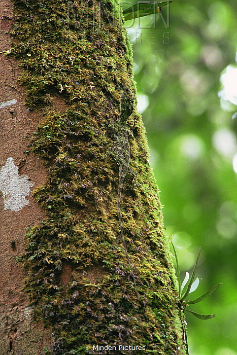 Flying dragon lizard (Draco sp) camouflaged against moss on tree trunk in the rainforest, Gunung Palung National Park, Borneo, West Kalimantan, Indonesia.
