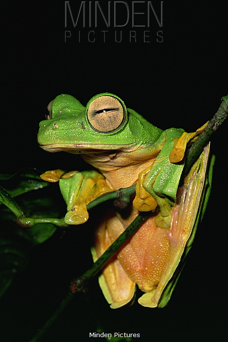 Wallace's flying frog (Rhacophorus nigropalmatus) resting on branch in lowland rainforest, Danum Valley Conservation Area, Sabah, Borneo, Malaysia
