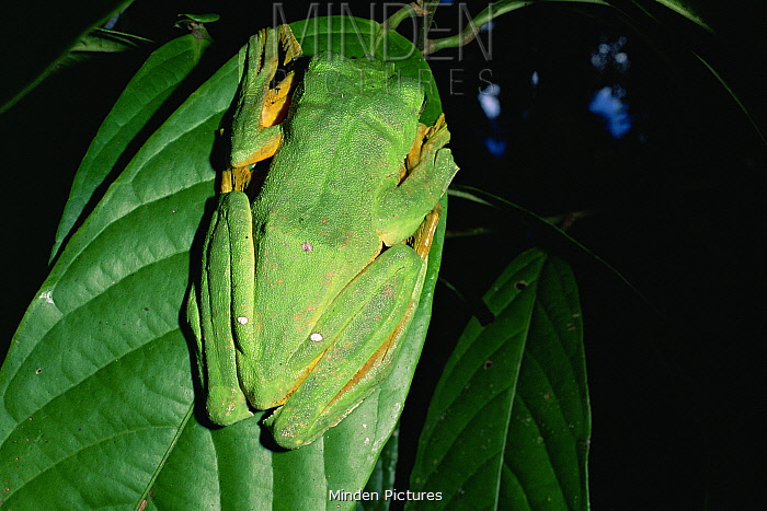 Wallace's flying frog (Rhacophorus nigropalmatus) camouflaged on leaf in lowland rainforest, Danum Valley Conservation Area, Sabah, Borneo, Malaysia