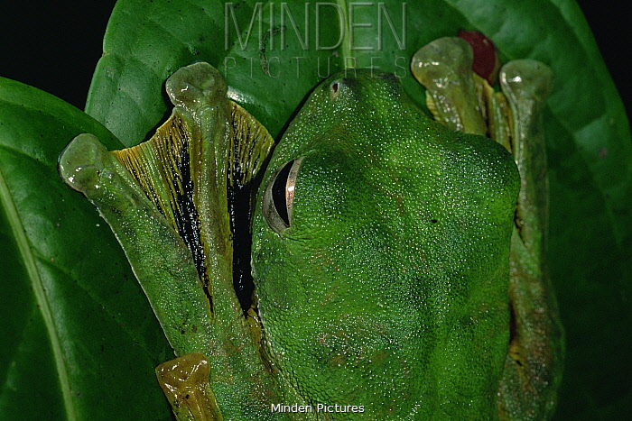 Wallace's flying frog (Rhacophorus nigropalmatus) camouflaged on leaf in lowland rainforest, showing webbed feet, Danum Valley Conservation Area, Sabah, Borneo, Malaysia
