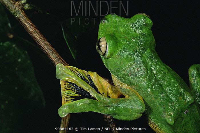 Wallace's flying frog (Rhacophorus nigropalmatus) in lowland rainforest, Danum Valley Conservation Area, Sabah, Borneo, Malaysia