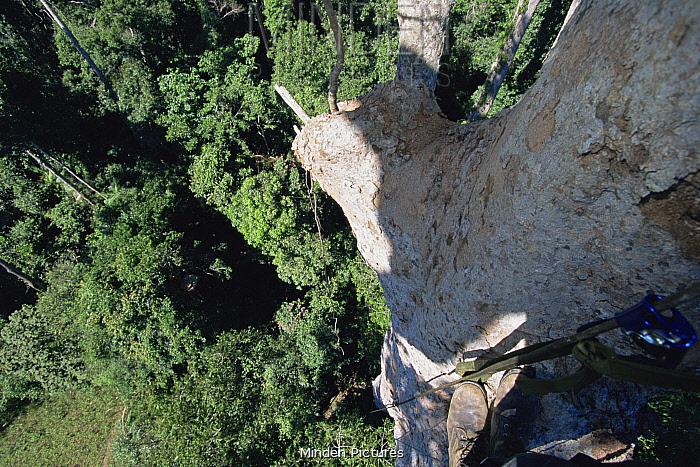 Canopy level view down tree trunk, with photographers feet visible, Gunung Palung National Park, Borneo, West Kalimantan, Indonesia.