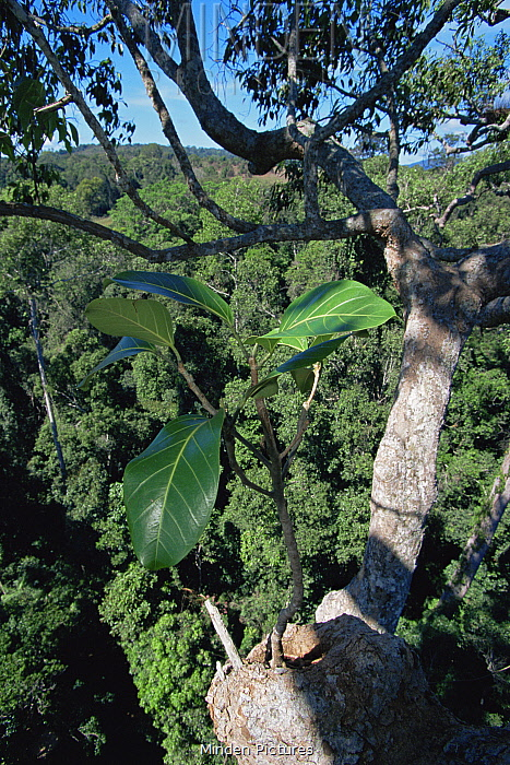 Strangler fig (Ficus stupenda) seedling growing in a tree crotch high in the rainforest canopy, Gunung Palung National Park, Borneo, West Kalimantan, Indonesia.
