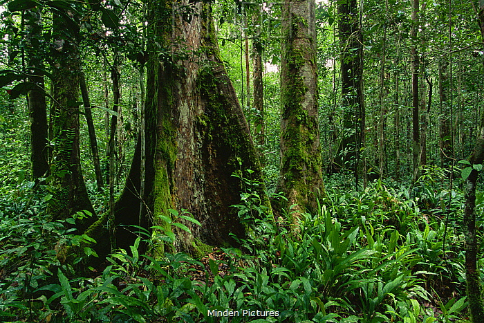 Interior view of lowland dipterocarp rainforest. Ground cover is dominated by herb Phrynium. Gunung Palung National Park, Borneo, Indonesia.