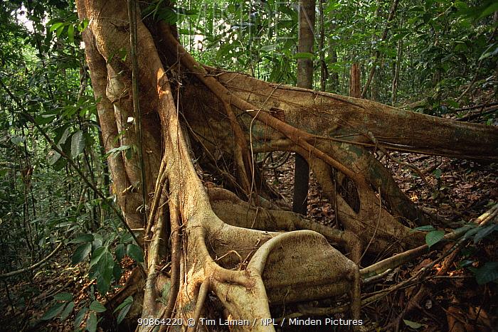 Strangler Fig (Ficus sp.) Lowland rainforest in Borneo. Gunung Palung National Park, Indonesia.