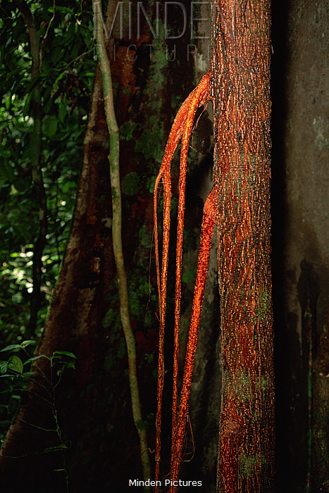 Strangler Fig (Ficus sp.) roots descend a host tree. Lowland rainforest in Borneo. Gunung Palung National Park, Indonesia.