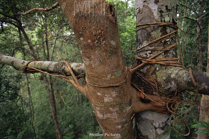 Close up of Strangler Fig (Ficus sp.) roots wrap around a host tree. Lowland rainforest in Borneo. Gunung Palung National Park, Indonesia.
