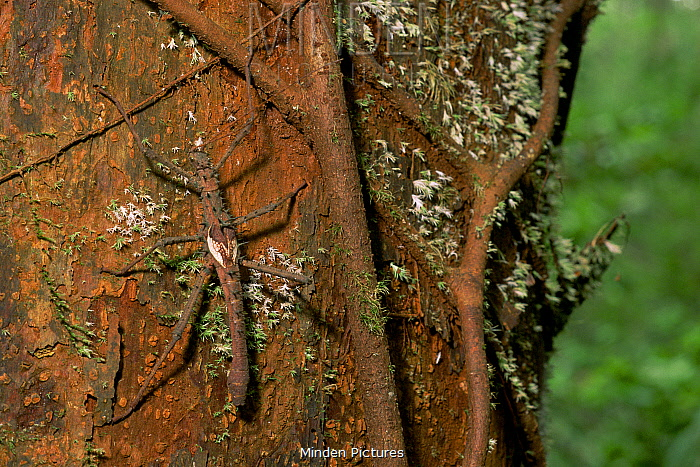 Spiny Stick Insect ( Phasmatodea / Phasmids) on a tree trunk near strangler fig roots.Gunung Palung National Park, Borneo, Indonesia