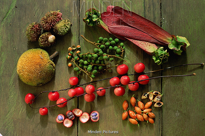 Array of rainforest fruits eaten by an orangutan during one day, during a high fruit availability period. Included are: Nephilium, Dipterocarpus, Baccaurea, and Artocarpus. Gunung Palung National Park, Borneo, Indonesia.