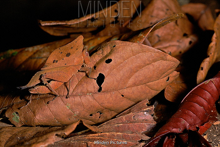 Grasshopper with a dead leaf mimic pattern, camouflaged amongst dead leaves, Gunung Palung National Park, Borneo, Indonesia