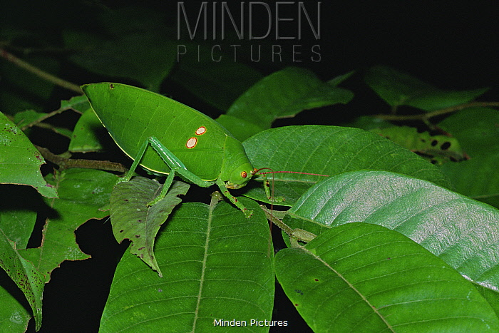 Katydid / bush cricket (Tettigoniidae) camouflaged on a green leaf, Gunung Palung National Park, Borneo, West Kalimantan, Indonesia