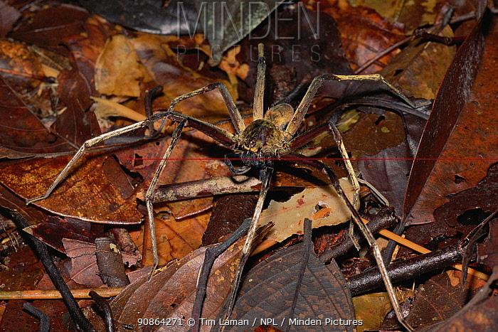 Huntsman spider (Sparassidae) on leaf litter on the rainforest floor, Gunung Palung National Park, Borneo, West Kalimantan, Indonesia
