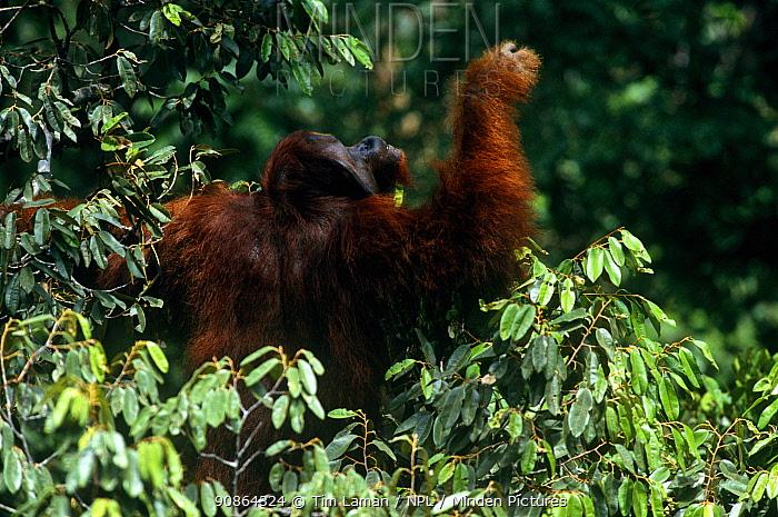 Adult male Bornean orangutan (Pongo pygmaeus) traveling through the rainforest canopy, Gunung Palung National Park, Borneo, West Kalimantan, Indonesia
