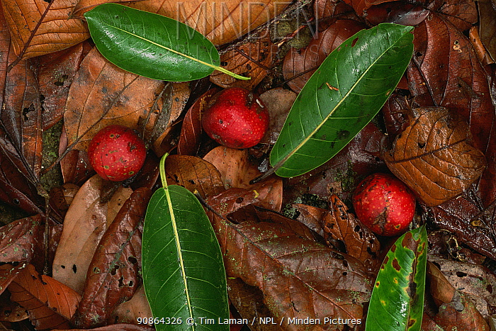 Fruits and leaves of the Strangler fig (Ficus dubia) among the leaf litter on the forest floor. Gunung Palung National Park, Borneo, West Kalimantan, Indonesia