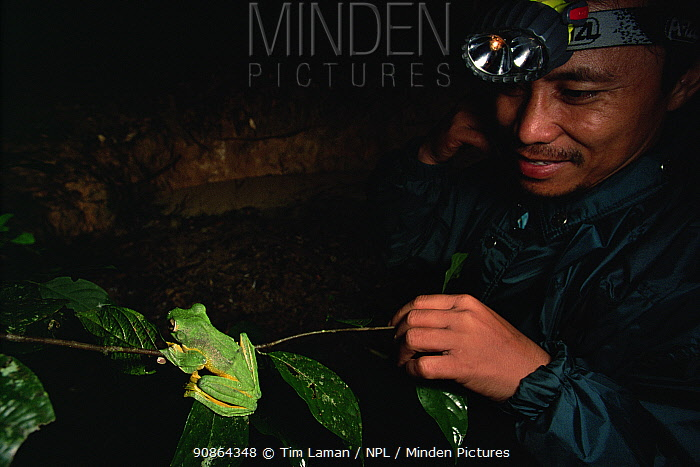 Malaysian naturalist, Saimon Ambi, observes a Wallace's flying frog (Rhacophorus nigropalmatus) on a branch near a pig wallow pool breeding site in the lowland rainforest, Danum Valley Conservation Area, Sabah, Borneo, Malaysia.