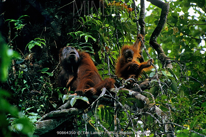 Adult female Bornean orangutan (Pongo pygmaeus) with juvenile playing on vine nearby in rainforest canopy, Gunung Palung National Park, Borneo, West Kalimantan, Indonesia