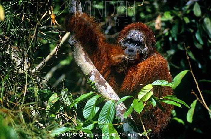 "Adult male Bornean orangutan (Pongo pygmaeus) (known as Jari Manis) in ""past-prime"" condition, having lost his big cheek pads. Gunung Palung National Park, Borneo, West Kalimantan, Indonesia, Indonesia."