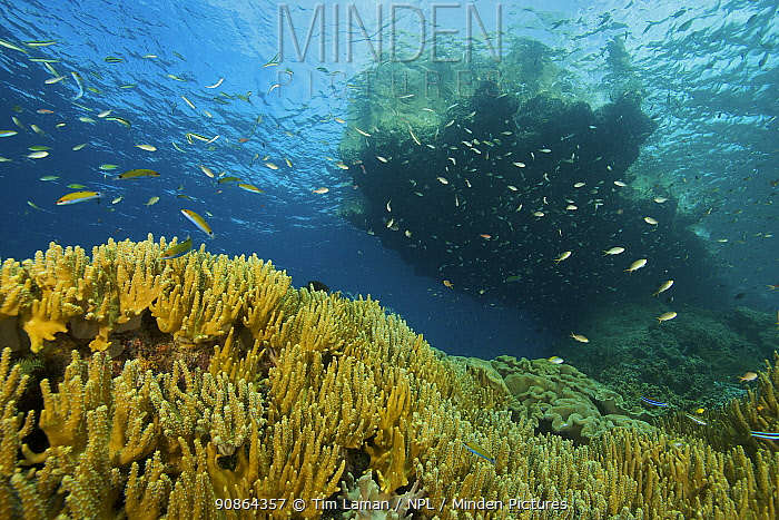 Wrasses (Labridae) and Damselfish (Chromis)hovering over coral reef, beneath a limestone outcrop island, in the Raja Ampat Islands, Indonesia, April 2007