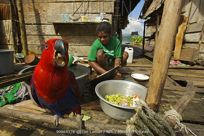 A pet female Eclectus Parrot (Eclectus roratus) keeps a woman company as she does the washing in Kabilo Village, Mayalibit Bay. This is an area of Waigeo Island visited by Alfred Russel Wallace in the 1850's. West Papua, Indonesia, April 2007