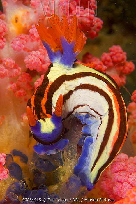 Nudibranch (Nembrotha purpureolineata) feeding on Tunicates (Ascidians) in coral reef system, West Papua, Indonesia, April 2007