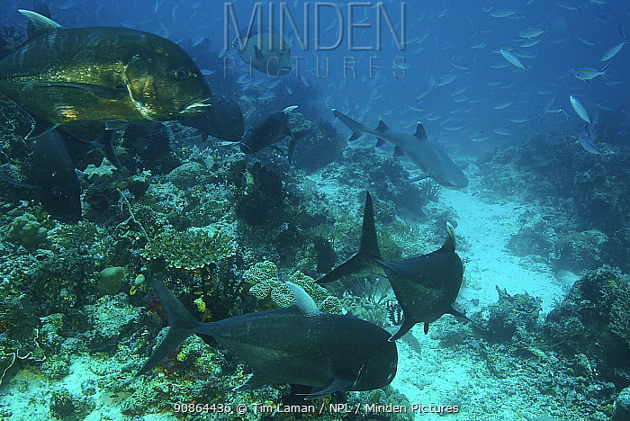 Large Jack fish (Carangoides auroguttatus) and a Napolean wrasse (Labridae) watch a hunting White Tip Reef shark (Triaenodon obesus) with Fusiliers school in the background, on a reef in the Raja Ampat Islands, Indonesia. May 2007