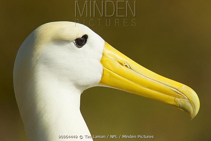 Waved albatross (Phoebastria irrorata) head portrait, Galapagos, Critically endangered