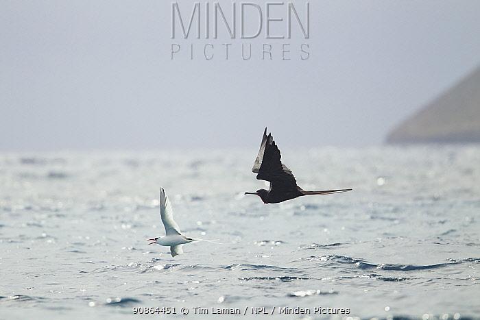 Frigate bird (Fregata sp) flying after a Red-billed Tropic bird (Phaethon aethereus) Floreana Island, Galapagos