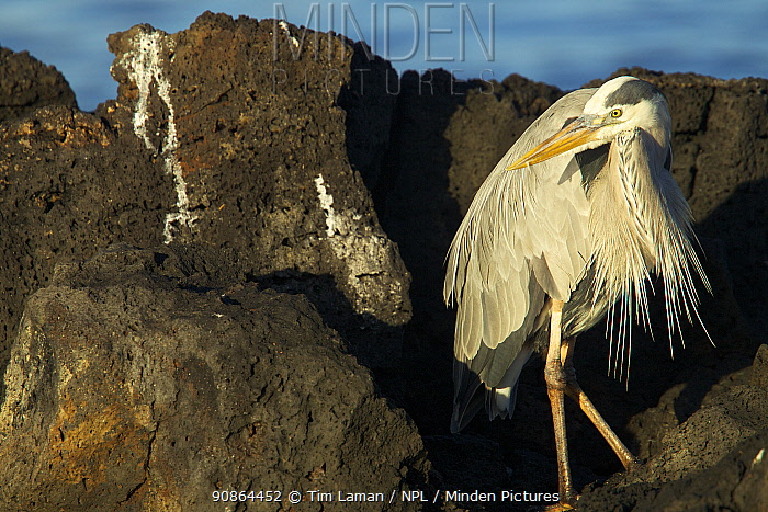 Great blue heron (Ardea herodias) on rocky shore, Galapagos