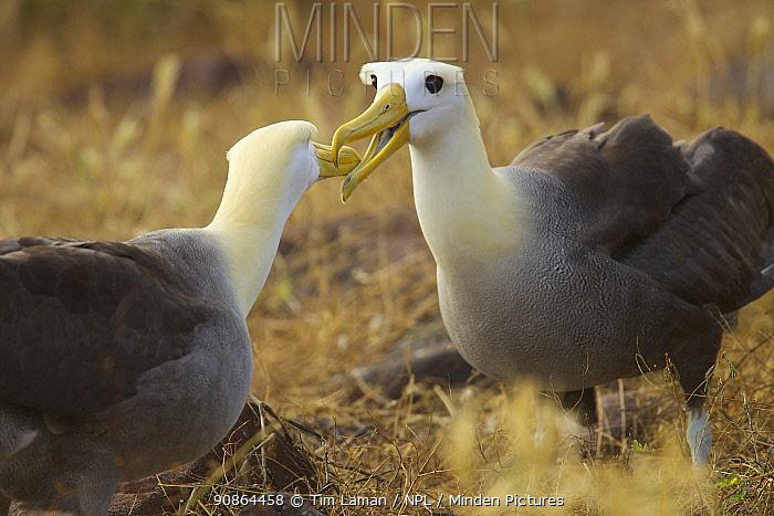 Waved albatross (Phoebastria irrorata) pair demonstrating beak clapping behaviour, Espanola Island, Galapagos, Critically endangered