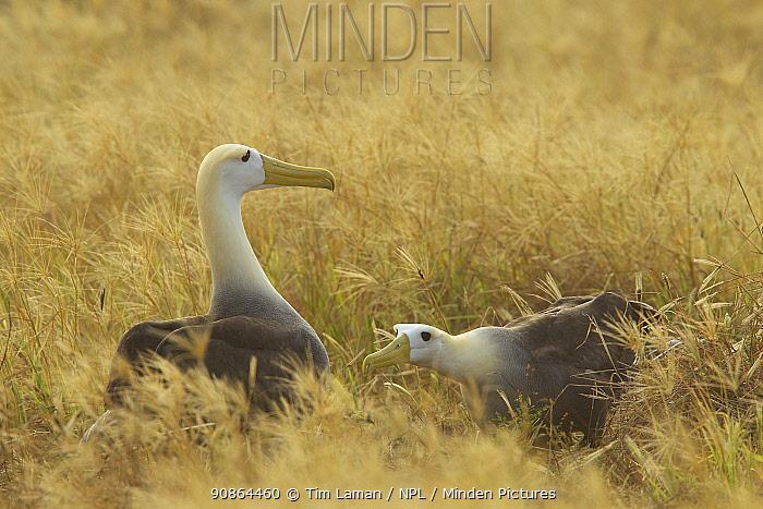 Waved albatross (Phoebastria irrorata) pair demonstrating mating behaviour, Espanola Island, Galapagos, Critically endangered
