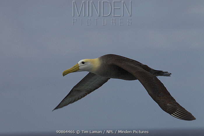 Waved Albatross (Phoebastria irrorata) in flight, Galapagos, Critically endangered