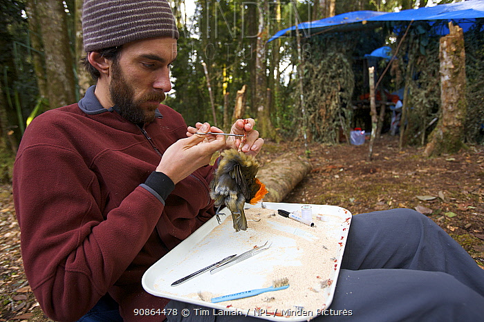 Ornithologist Brett Benz prepares a Huon Macgregor's Gardener Bowerbird (Amblyornis macgregoriae) museum specimen. Araurong field camp, Sarawaget Range Indonesia, Dec 2006