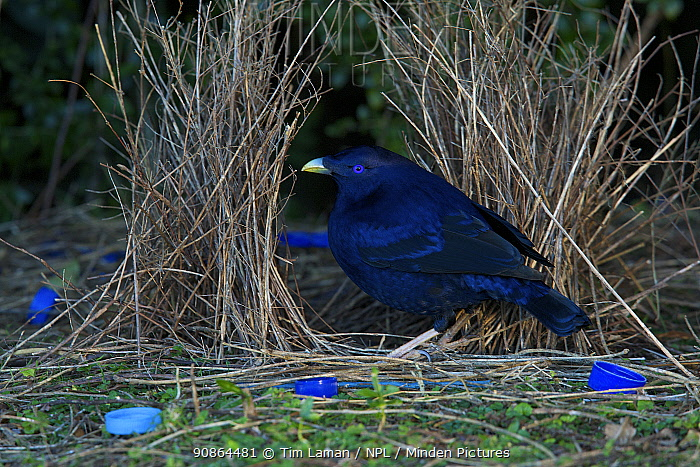 Satin Bowerbird (Ptilonorhynchus violaceus) male at his bower, which is decorated with many blue plastic items. Lamington National Park, Queensland, Australia, August 2008 Not available for ringtone/wallpaper use.