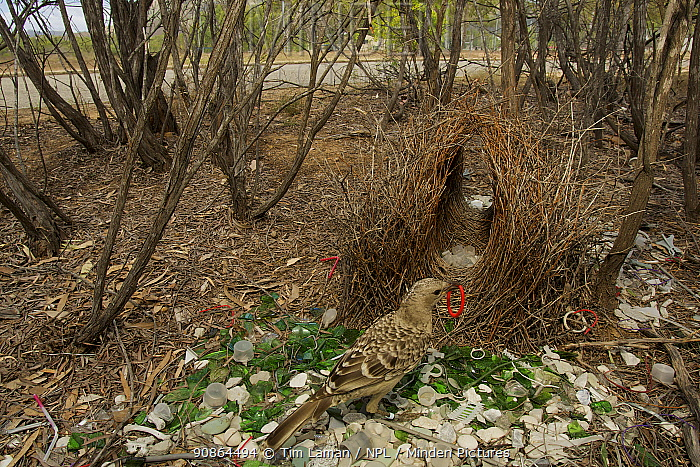 Great Bowerbird (Chlamydera nuchalis) male at his bower decorated with green glass, white plastic, grey plastic, and other decorations. This bower is very close to a road. James Cook University Campus, Townsville, Queensland, Australia, August 2008