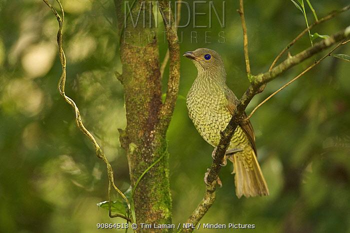 Satin Bowerbird (Ptilonorhynchus violaceus minor) adult female. Rainforest of the Paluma Range National Park, Queensland, Australia, Sept 2008