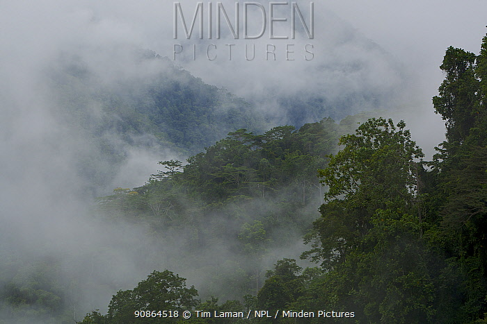 Montane rainforest with mist and clouds in the Arfak Mountains, home of the Vogelkop Bowerbird. West Papua, Indonesia, Nov 2008