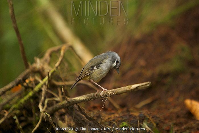 Vogelkop Ashy Robin (Heteromyias albispecularis). Subspecies endemic to Vogelkop Mountains. West Papua, Indonesia, Dec 2008