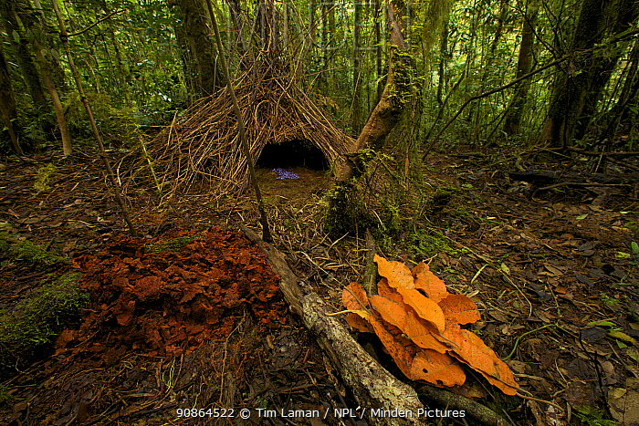 Bower of Vogelkop Bowerbird (Amblyornis inornata) decorated with orange leaves, dark orange fungi, and blue berries. West Papua, Indonesia, Dec 2008
