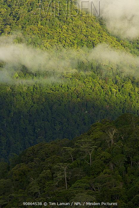 Montane rainforest of the Arfak Mountains, New Guinea. Habitat of the Vogelkop Bowerbird. West Papua, Indonesia, Dec 2008
