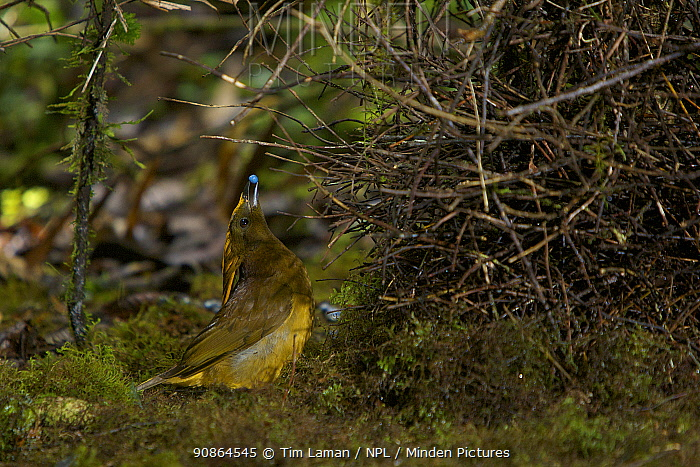 Male Yellow-fronted Bowerbird (Amblyornis flavifrons) displaying at his bower to a female out of sight on the other side of the bower. Papua, Indonesia, June 2007