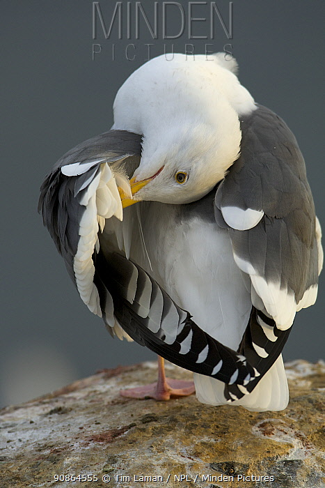 Western gull (Larus occidentalis) preening on rocks, Goldfish Point, La Jolla, California, USA, December