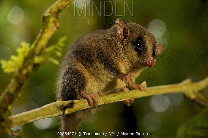 Long-tailed Pygmy-Possum (Cercartetus c.f. caudatus). Possible new species for the Foja Mountains. Foja Mountains, Papua, Indonesia, 2007.